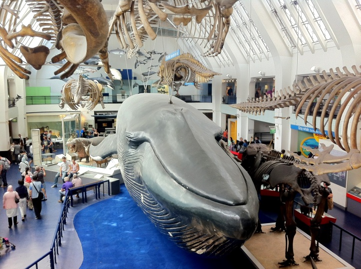 Whale at the Natural History Museum, London