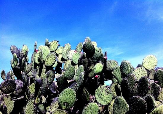 Nopales de Teotihuacán